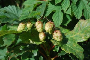 Hops Are Estrogenic
